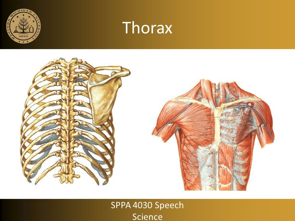 Breathing for Speech: Inspiration pulling handles outward with net inspiratory muscle activity Rate of volume change is greater than rest breathing SPPA 4030 Speech Science