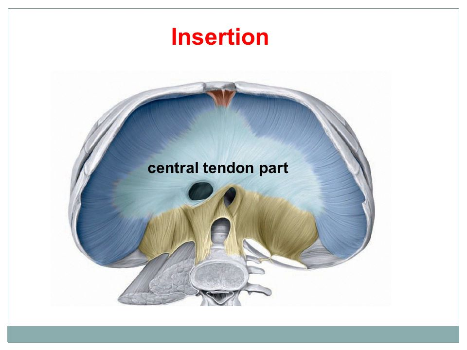 central tendon part Insertion
