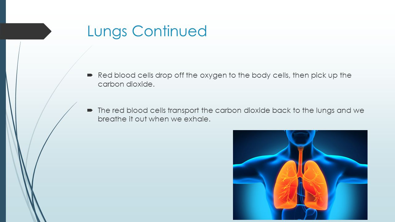 Lungs Continued  Red blood cells drop off the oxygen to the body cells, then pick up the carbon dioxide.  The red blood cells transport the carbon d