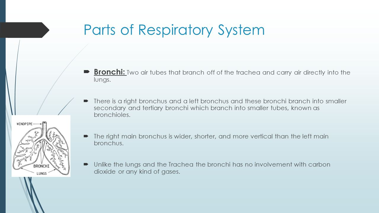 Parts of Respiratory System  Bronchi: Two air tubes that branch off of the trachea and carry air directly into the lungs.