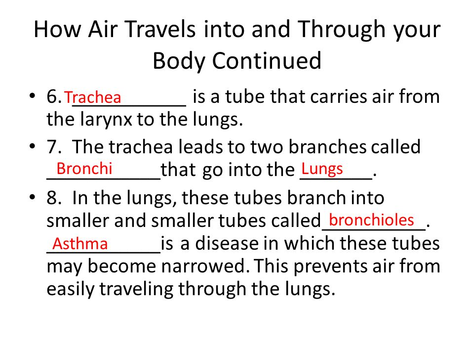 How Air Travels into and Through your Body Continued 6. ___________ is a tube that carries air from the larynx to the lungs. 7. The trachea leads to t