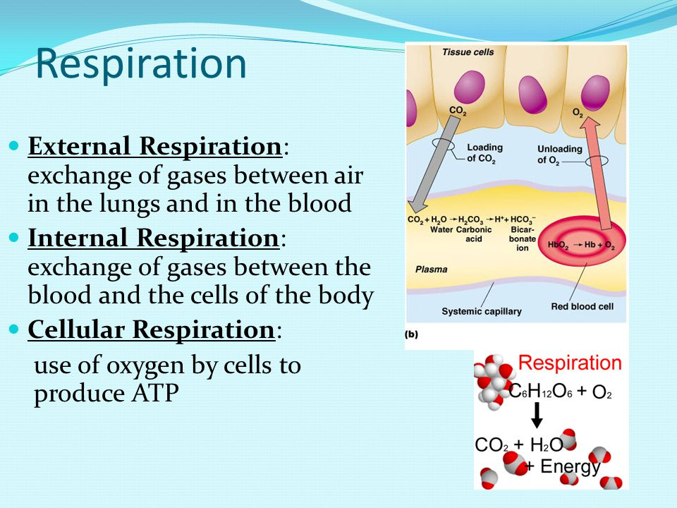 Respiration External Respiration: exchange of gases between air in the lungs and in the blood Internal Respiration: exchange of gases between the blood and the cells of the body Cellular Respiration: use of oxygen by cells to produce ATP