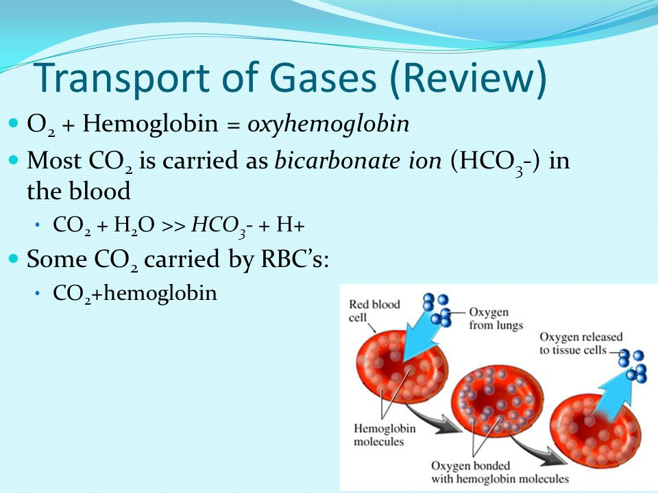 Transport of Gases (Review) O 2 + Hemoglobin = oxyhemoglobin Most CO 2 is carried as bicarbonate ion (HCO 3 -) in the blood CO 2 + H 2 O >> HCO 3 - + H+ Some CO 2 carried by RBC's: CO 2 +hemoglobin