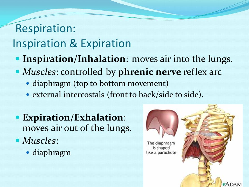 Respiration: Inspiration & Expiration Inspiration/Inhalation: moves air into the lungs.