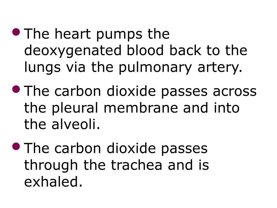 The heart pumps the deoxygenated blood back to the lungs via the pulmonary artery. The carbon dioxide passes across the pleural membrane and into the