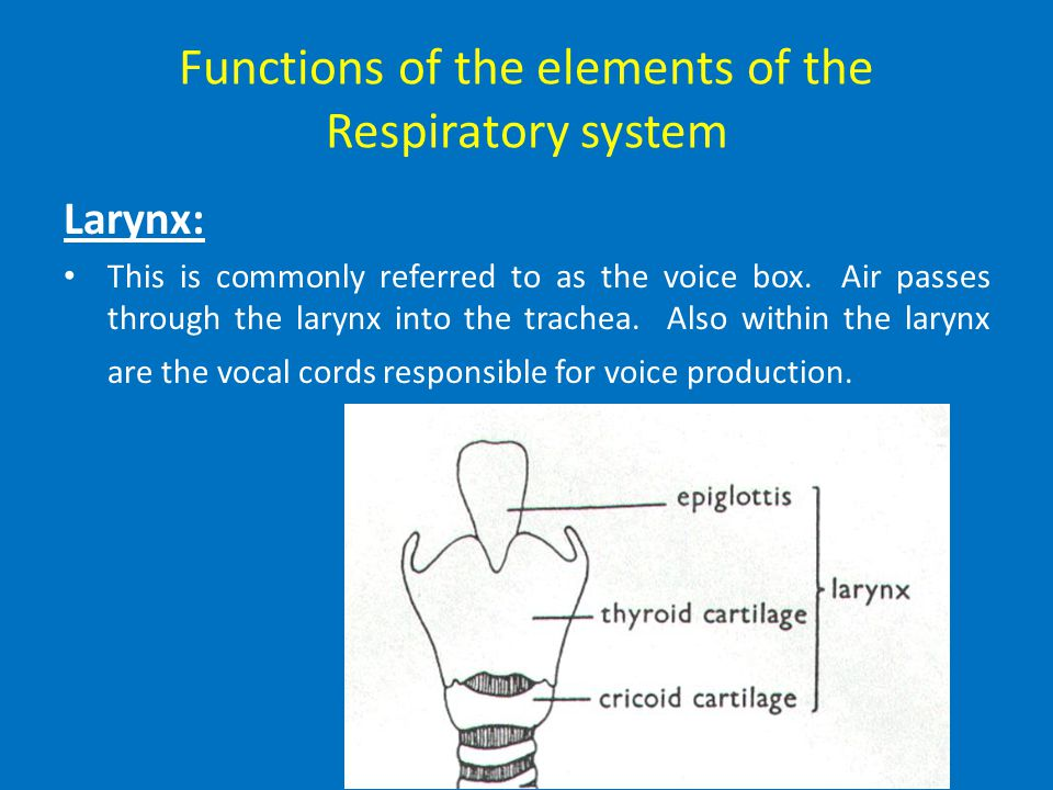 Functions of the elements of the Respiratory system The Epiglottis The epiglottis prevents food from being inhaled into the lower air passage (the tra