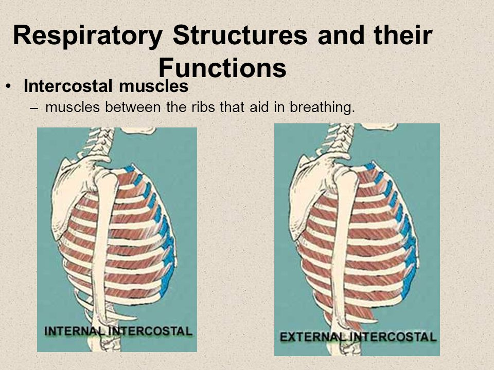 Ribs: bones that protect the thoracic cavity. Respiratory Structures and their Functions