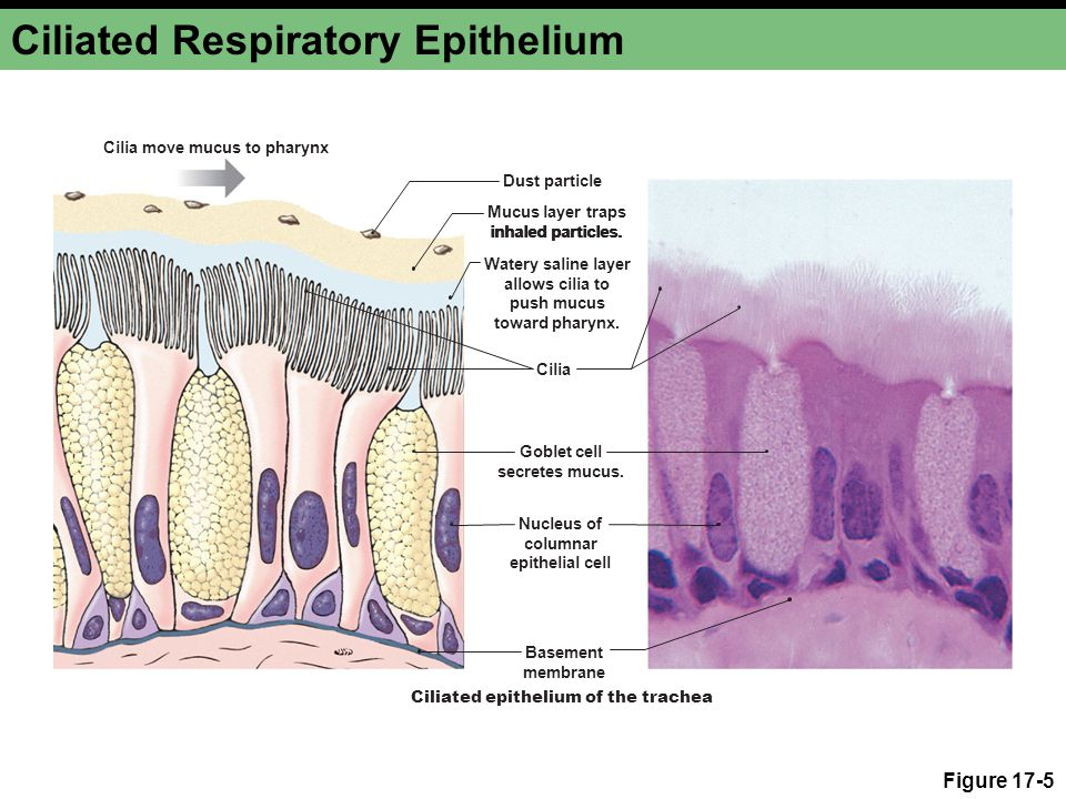 Ciliated Respiratory Epithelium Figure 17-5 Cilia move mucus to pharynx Cilia Goblet cell secretes mucus. Nucleus of columnar epithelial cell Basement