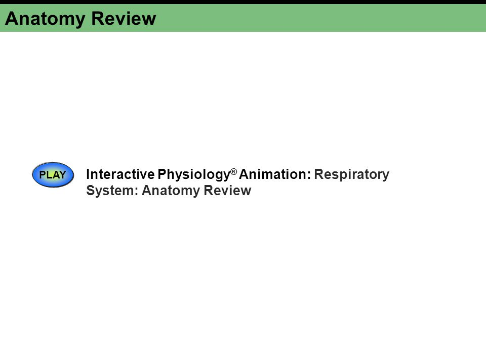 Anatomy Review PLAY Interactive Physiology ® Animation: Respiratory System: Anatomy Review