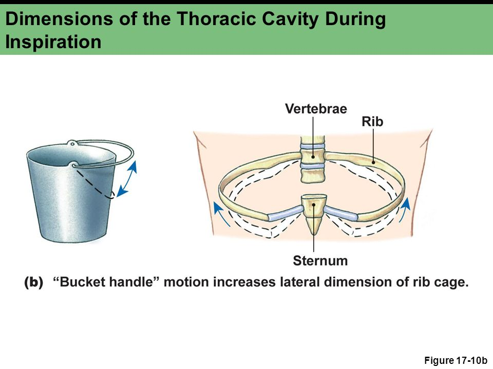 Dimensions of the Thoracic Cavity During Inspiration Figure 17-10b