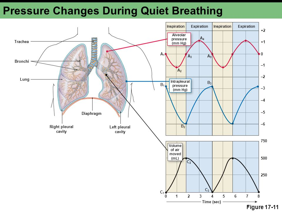 Pressure Changes During Quiet Breathing Figure 17-11 Trachea Bronchi Lung Diaphragm Right pleural cavity Left pleural cavity +2 +1 0 –1–1 –2–2 –3–3 –4