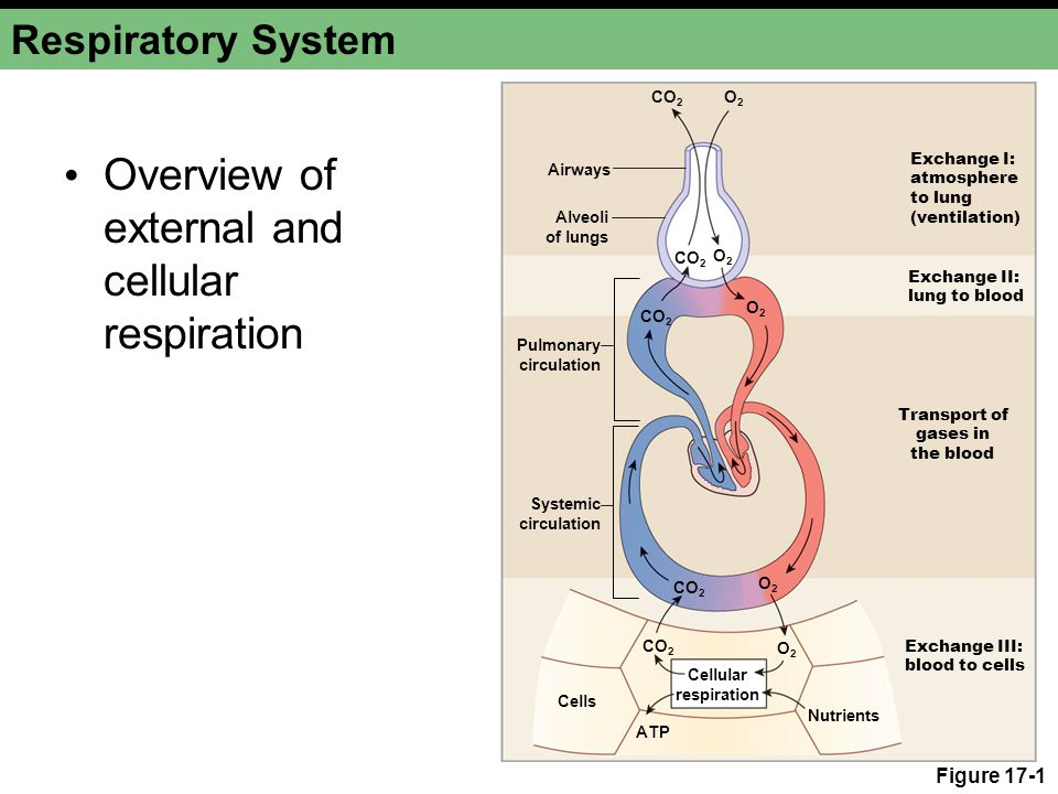 Respiratory System Components Conducting system Alveoli Bones and muscle of thorax