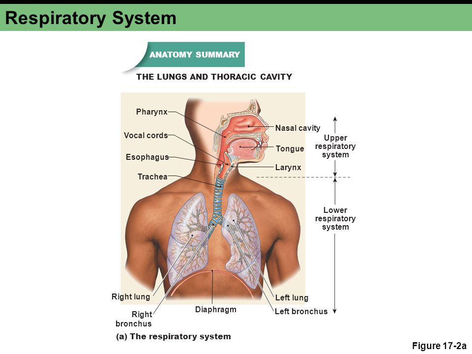 Respiratory System Figure 17-2a Right bronchus Left bronchus Left lung Diaphragm (a) The respiratory system Upper respiratory system Lower respiratory