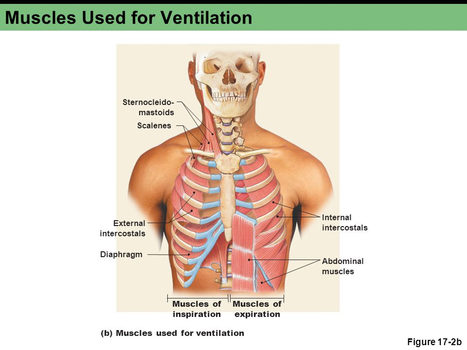 Muscles Used for Ventilation Figure 17-2b Scalenes Sternocleido- mastoids External intercostals Muscles of inspiration Muscles of expiration Abdominal