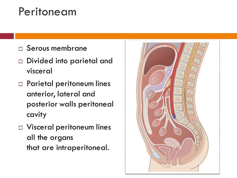 Peritoneam  Serous membrane  Divided into parietal and visceral  Parietal peritoneum lines anterior, lateral and posterior walls peritoneal cavity