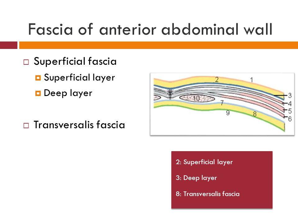 Transversalis Fascia Transversalis fascia