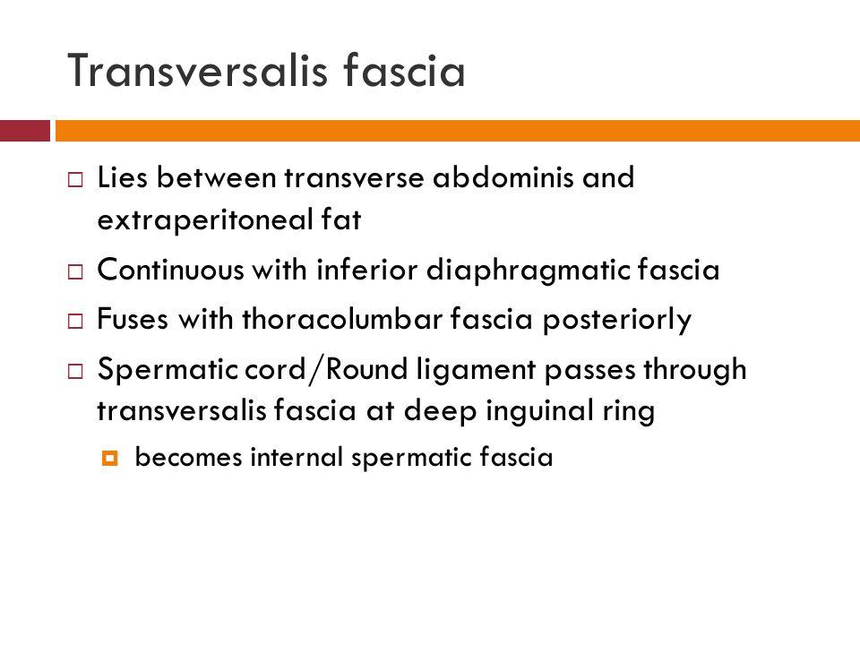 Transversalis Fascia Transversalis fascia   Lies