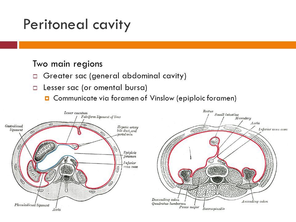 Peritoneal cavity Two main regions  Greater sac (general abdominal cavity)  Lesser sac (or omental bursa)  Communicate via foramen of Vinslow (epip