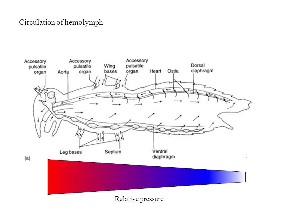 Circulation of hemolymph Relative pressure