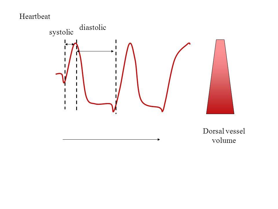 Heartbeat systolic diastolic Dorsal vessel volume
