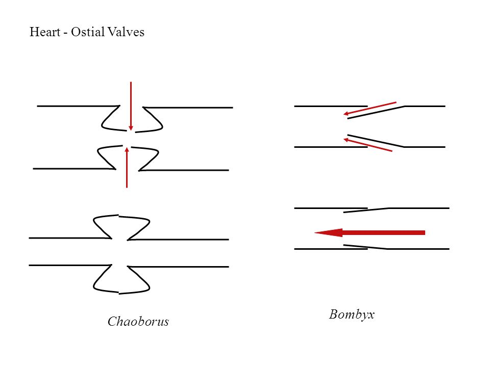 Heart - Ostial Valves Chaoborus Bombyx