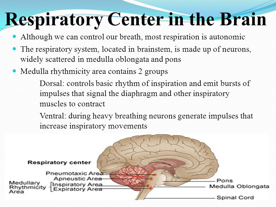 Respiratory Center in the Brain Although we can control our breath, most respiration is autonomic The respiratory system, located in brainstem, is mad