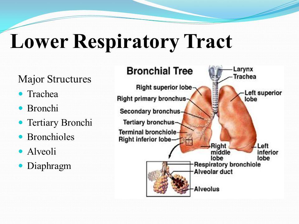 Lower Respiratory Tract Major Structures Trachea Bronchi Tertiary Bronchi Bronchioles Alveoli Diaphragm