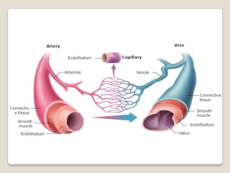 Section 37-1 Capillary Connectiv e tissue Smooth muscle Endothelium Valve Venule Endothelium Arteriole Vein Artery