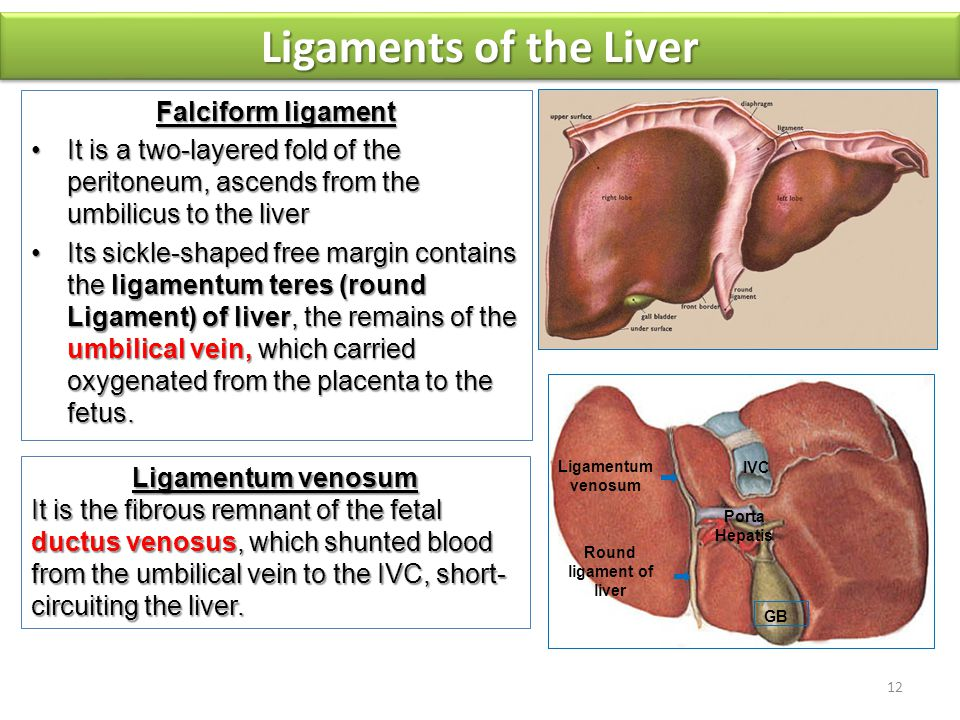 The liver is divided into a large right lobe and a small left lobe by the attachment of the falciform ligament.