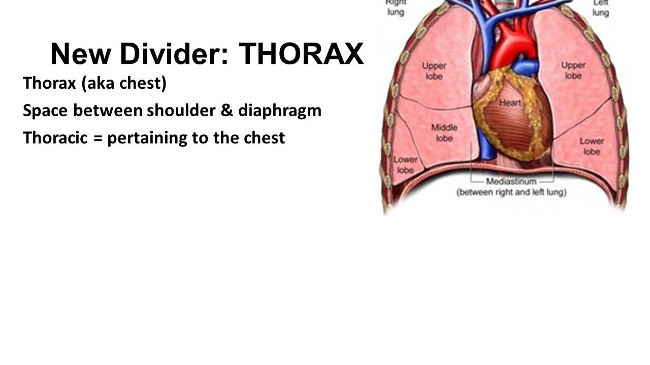 New Divider: THORAX Thorax (aka chest) Space between shoulder & diaphragm Thoracic = pertaining to the chest