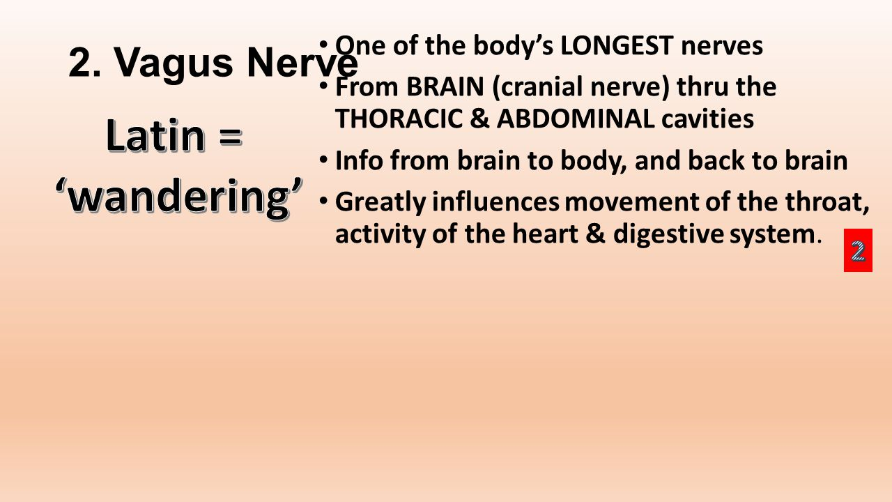 2. Vagus Nerve One of the body's LONGEST nerves From BRAIN (cranial nerve) thru the THORACIC & ABDOMINAL cavities Info from brain to body, and back to