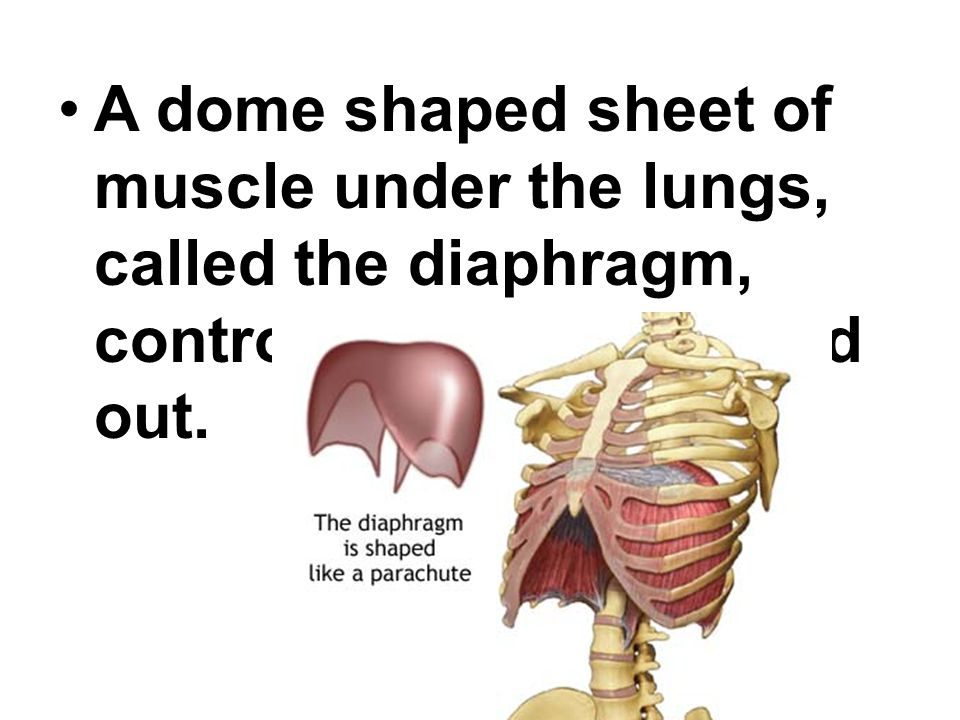 A dome shaped sheet of muscle under the lungs, called the diaphragm, controls breathing in and out.