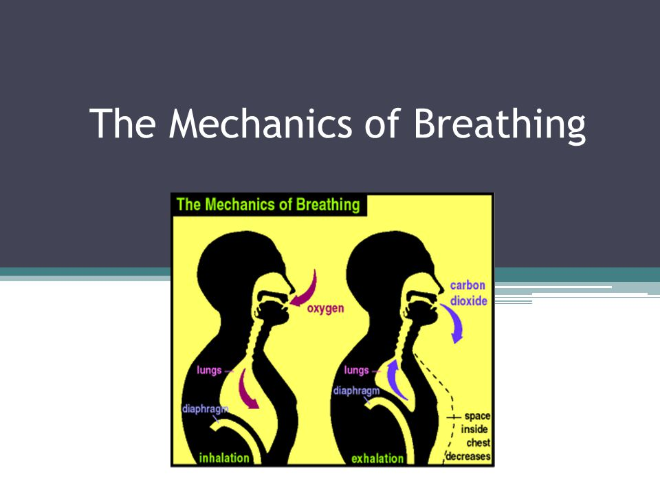 Breathing The mechanism by which mammals ventilate their lungs Air will flow from a region of higher pressure to a region of lower pressure There are two muscular structures that control air pressure inside our lungs