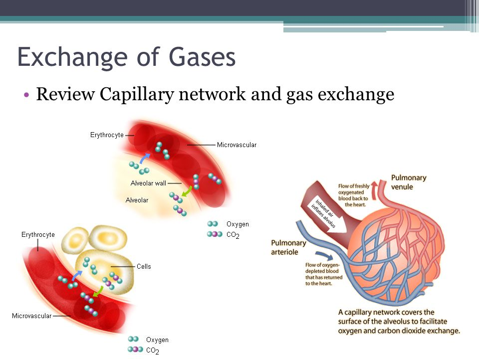 Exchange of Gases Review Capillary network and gas exchange