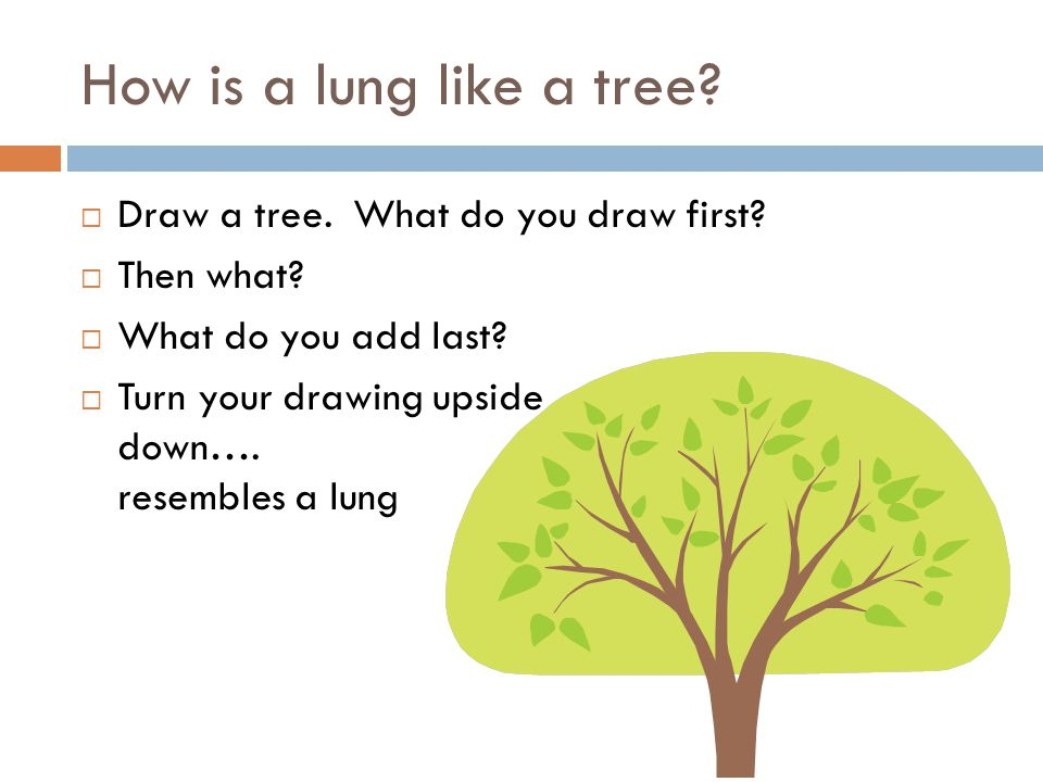How is a lung like a tree?  Draw a tree. What do you draw first?  Then what?  What do you add last?  Turn your drawing upside down…. resembles a l