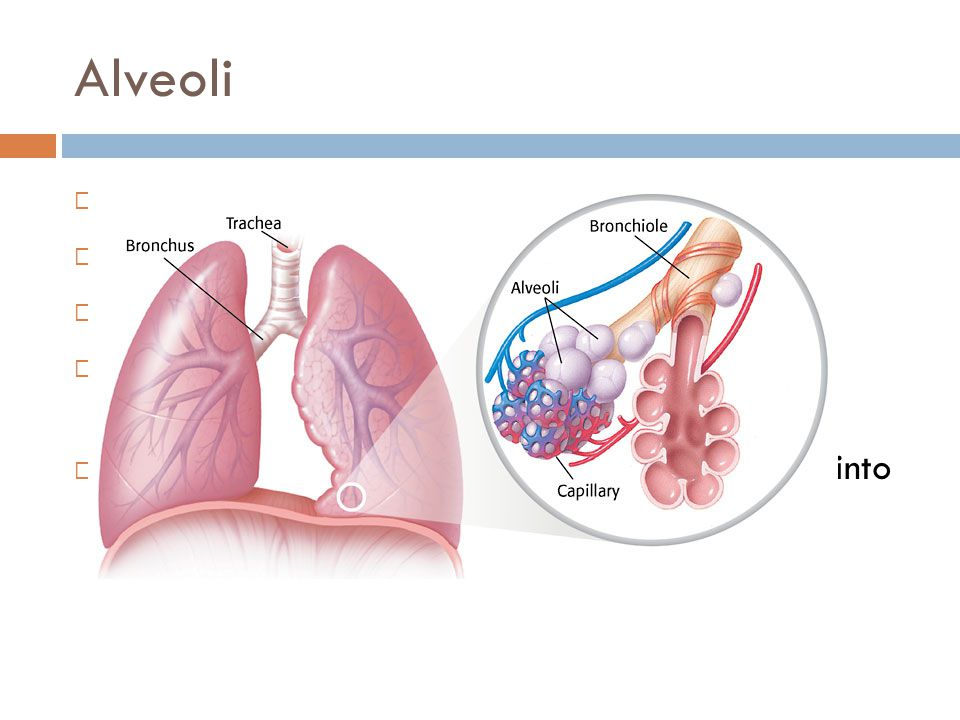 Exhaling Airway  Reverse of Inhaling  Diaphragm relaxes (pushes up) to make chest cavity smaller  Carbon dioxide leaves alveoli into bronchioles (branches), through bronchi (trunk), up trachea (windpipe), through larynx, pharynx and exits out of the body out of the nose.