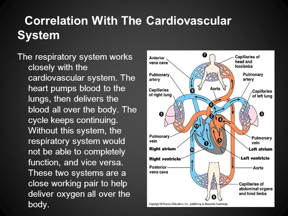 Correlation With The Cardiovascular System The respiratory system works closely with the cardiovascular system. The heart pumps blood to the lungs, th