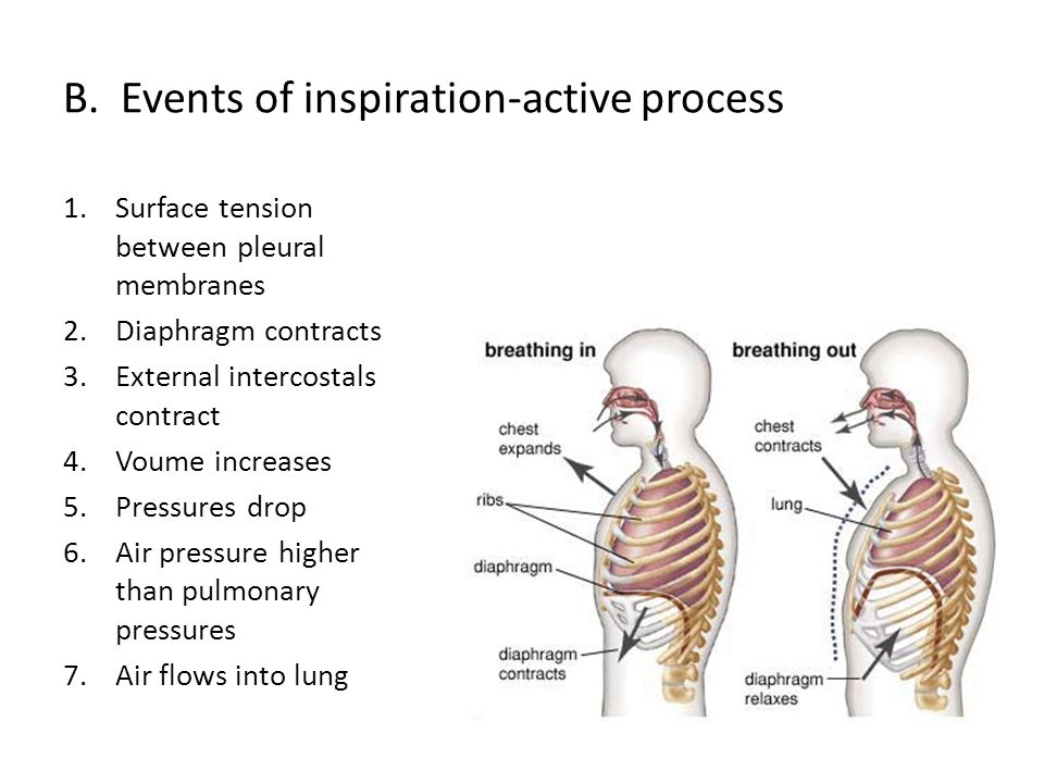 B. Events of inspiration-active process 1.Surface tension between pleural membranes 2.Diaphragm contracts 3.External intercostals contract 4.Voume inc