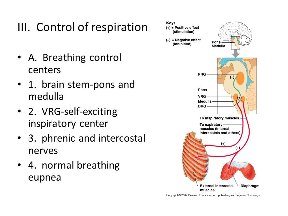 III. Control of respiration A. Breathing control centers 1. brain stem-pons and medulla 2. VRG-self-exciting inspiratory center 3. phrenic and interco