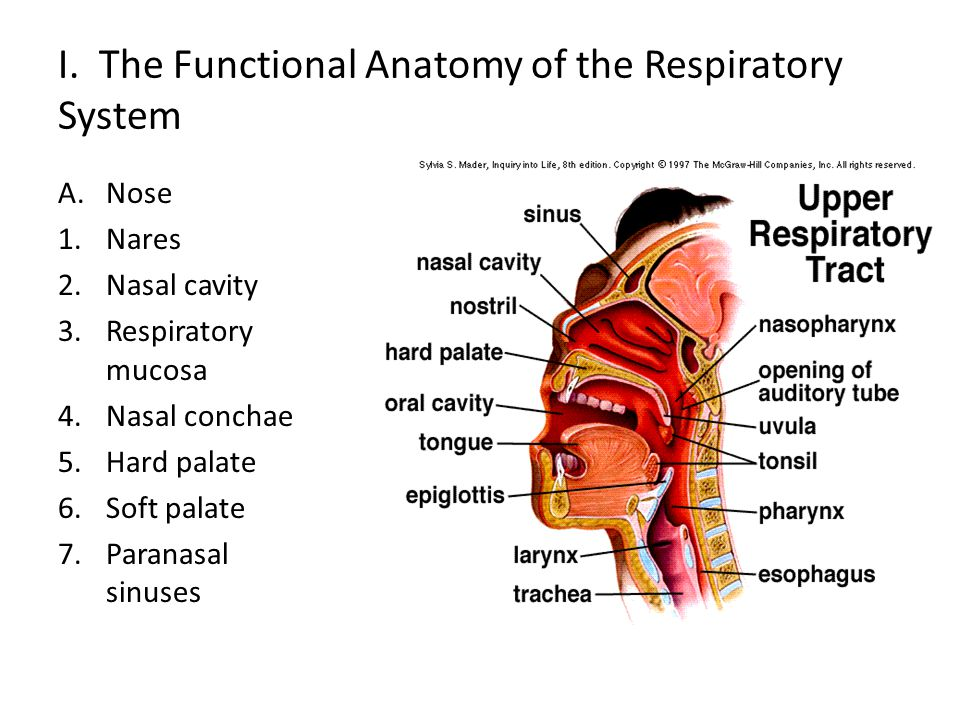 B.Pharynx-throat 1.Common passageway 2.Three portions 3.Auditory tube 4.Tonsils a.