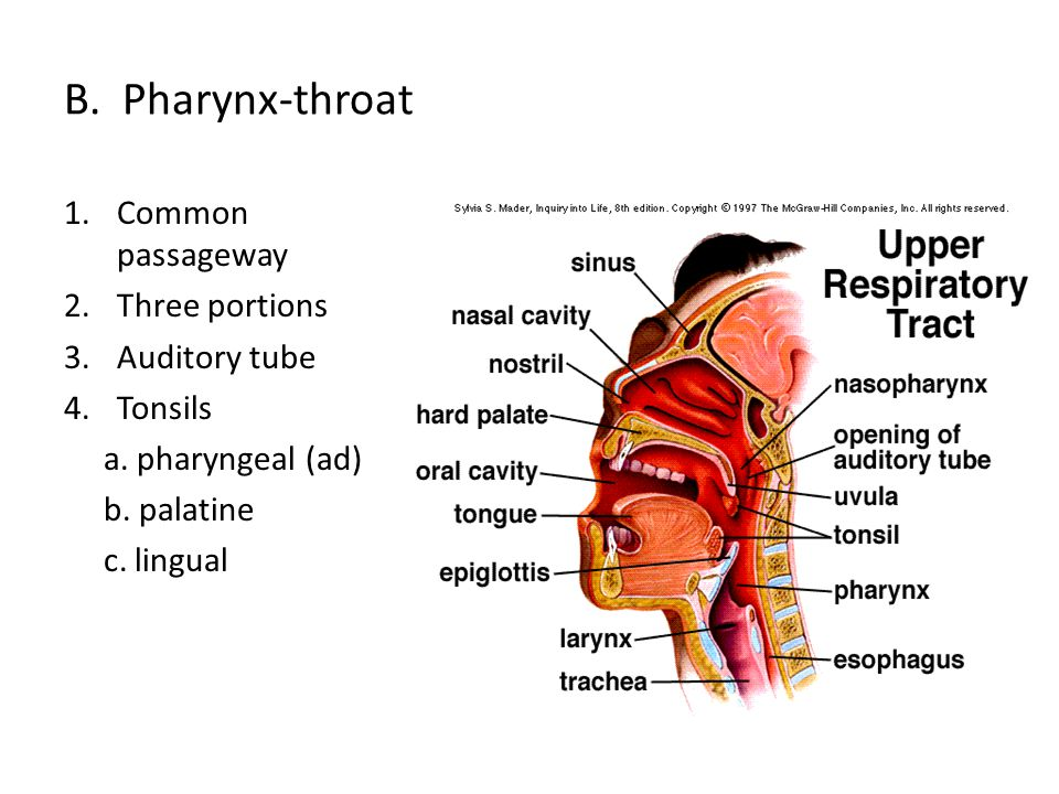 B. Pharynx-throat 1.Common passageway 2.Three portions 3.Auditory tube 4.Tonsils a. pharyngeal (ad) b. palatine c. lingual