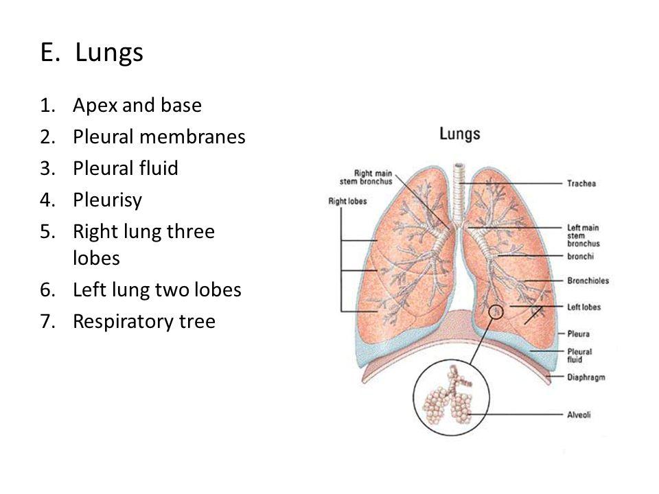 F.Respiratory zone 1. zone where gas exchange occurs 2.