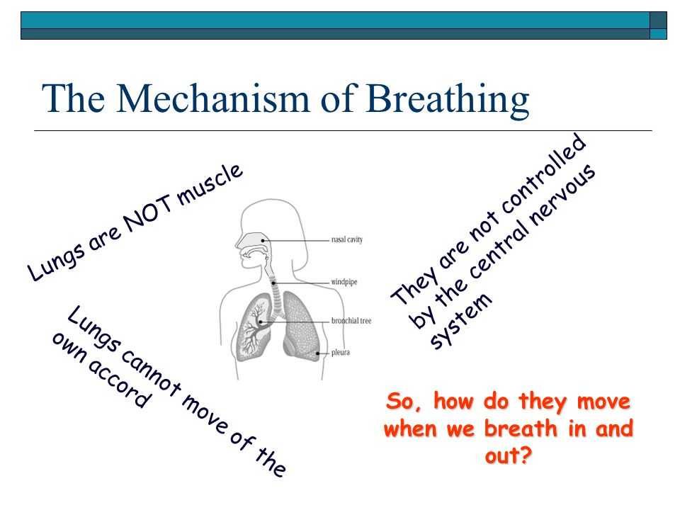 The Mechanism of Breathing Lungs are NOT muscle L u n g s c a n n o t m o v e o f t h e o w n a c c o r d They are not controlled by the central nervo