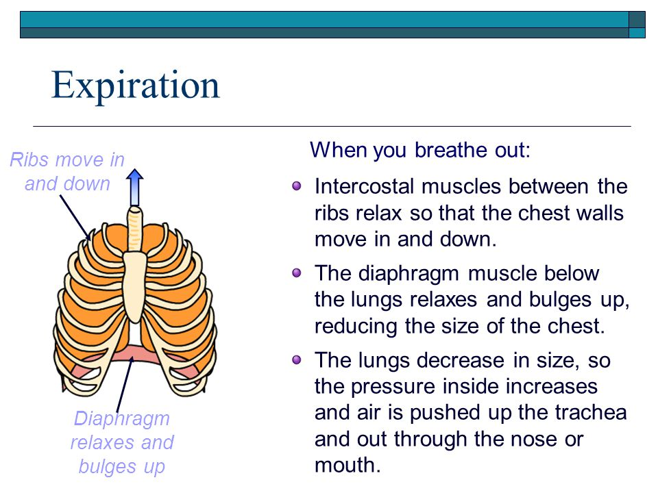 Expiration When you breathe out: Intercostal muscles between the ribs relax so that the chest walls move in and down. The diaphragm muscle below the l