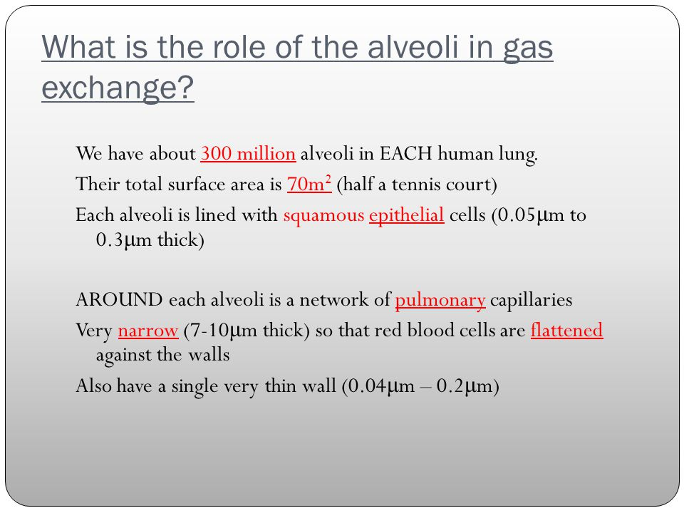 What is the role of the alveoli in gas exchange.
