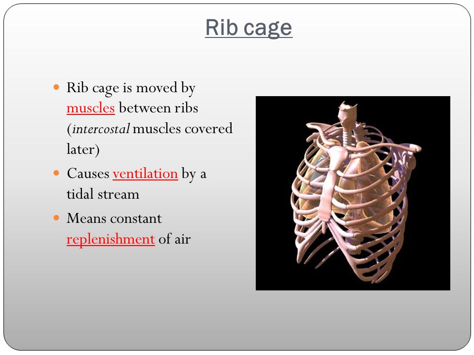Rib cage Rib cage is moved by muscles between ribs (intercostal muscles covered later) Causes ventilation by a tidal stream Means constant replenishment of air