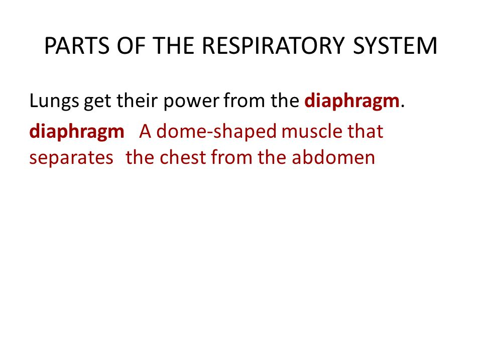 PARTS OF THE RESPIRATORY SYSTEM Lungs get their power from the diaphragm.