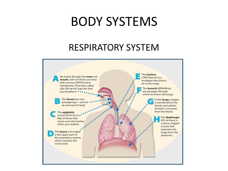 BODY SYSTEMS RESPIRATORY SYSTEM