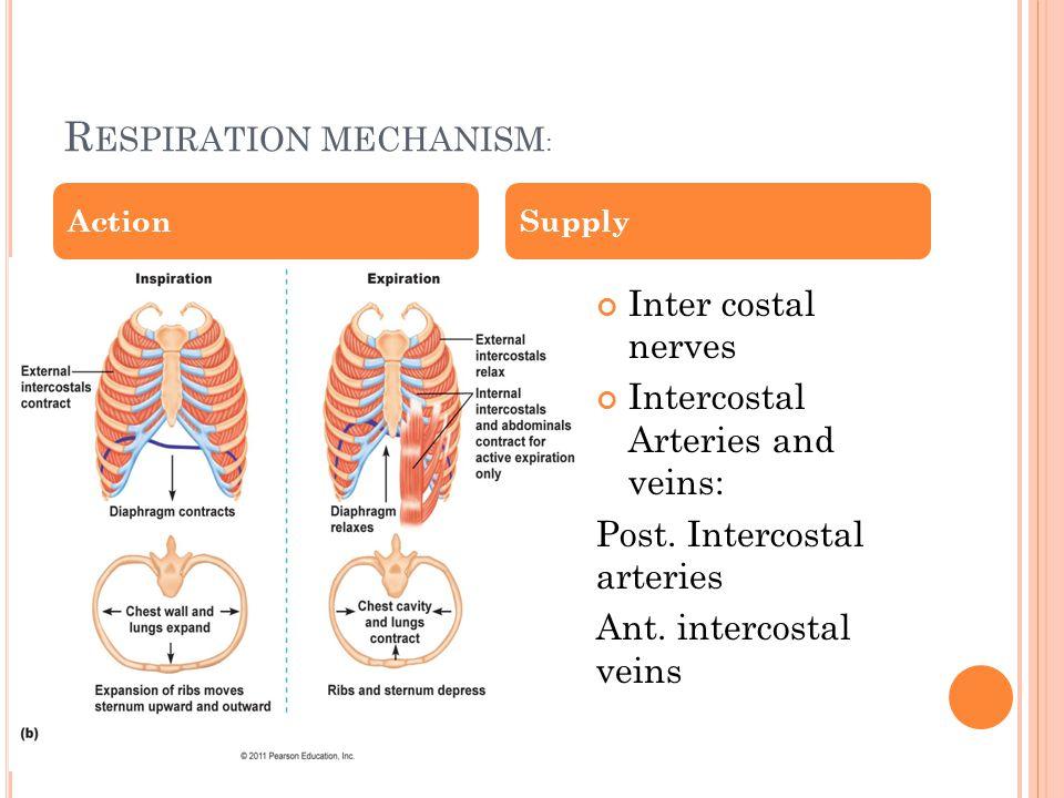 R ESPIRATION MECHANISM : Inter costal nerves Intercostal Arteries and veins: Post.
