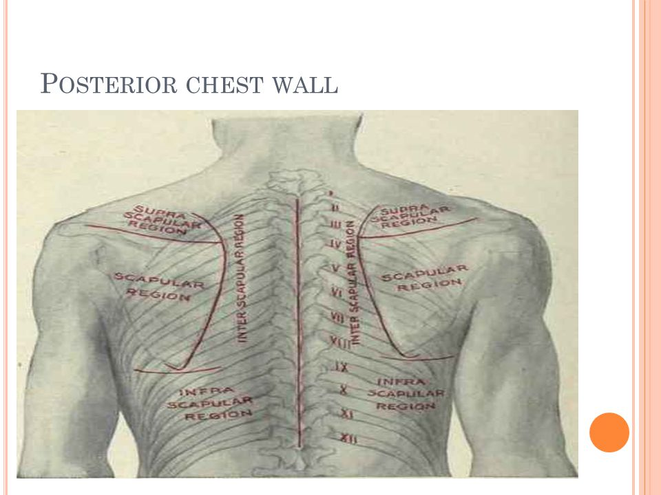P OSTERIOR CHEST WALL